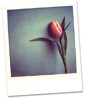 <h2>Tulipán</h2>